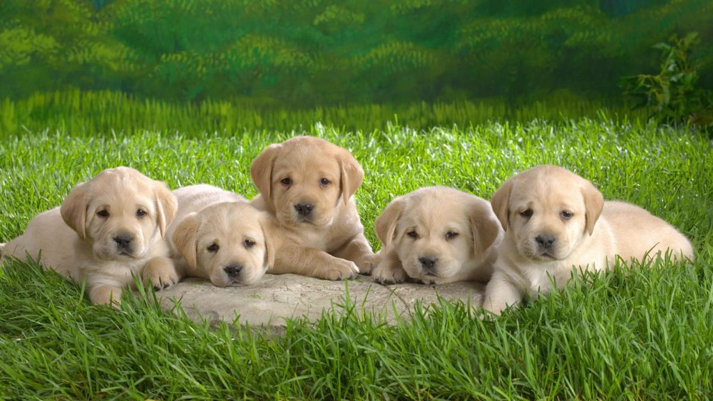 hd-pictures-of-puppys